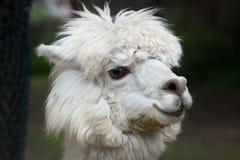 Llama Lama glama. Domestic animal Royalty Free Stock Photography