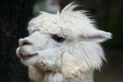 Llama Lama glama. Domestic animal Royalty Free Stock Photos