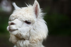 Llama Lama glama. Domestic animal Stock Image