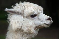 Llama Lama glama. Domestic animal Stock Images