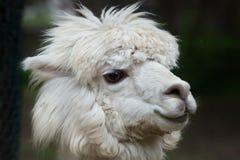 Llama Lama glama. Domestic animal Stock Photography