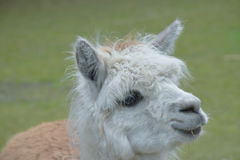 Llama Lama glama. Domestic animal. Stock Photography