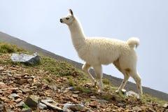 White Llama lama glama. Llama lama glama, mammal living in the South American Andes stock images