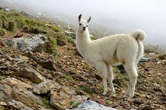 White Llama lama glama. Llama lama glama, mammal living in the South American Andes royalty free stock image
