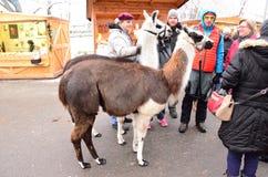 Llama Lama glama Stock Image