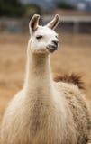 Llama - Lama glama, Portrait Stock Image