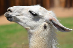 The llama Stock Image