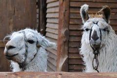 The llama Royalty Free Stock Image