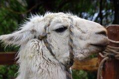 The llama Stock Photos