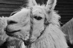 The llama Stock Photo