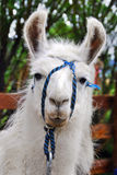 The llama Stock Photography