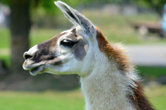 The llama Royalty Free Stock Photography