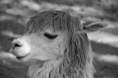 The llama Stock Images