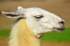 The llama Stock Photo
