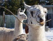 The llama. Lama glama is a South American camelid, widely used as a meat and pack animal by Andean cultures since pre-Hispanic times stock photos