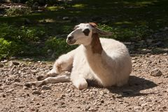 Llama - Lama Glama. Llama-Lama Glama in a zoological garden Royalty Free Stock Images