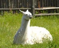 Llama Royalty Free Stock Image