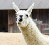Llama lama smile Stock Photos