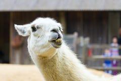Llama lama smile Royalty Free Stock Photos