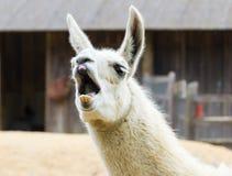 Llama lama smile Royalty Free Stock Images
