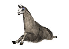 Llama or Lama on White Royalty Free Stock Photography