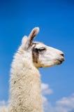 Llama lama in the zoo outdoors Royalty Free Stock Image