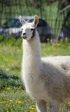 Llama lama in the zoo outdoors Royalty Free Stock Photography