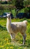 Llama lama in the zoo outdoors Stock Images