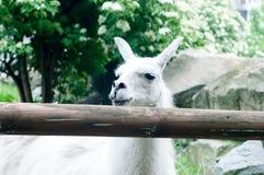 Llama lama in the zoo Stock Images