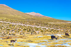 Llama Landscape royalty free stock photography