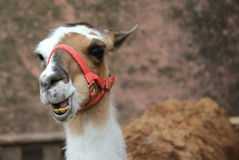 Llama laughing with yellow teeth and a long neck Royalty Free Stock Photo