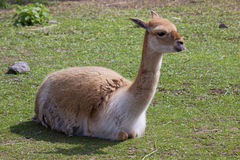 Llama on the lawn Stock Photography