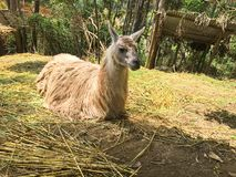 Llama Laying in the Hay stock photos