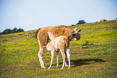 Llama with little breeding eating Royalty Free Stock Images