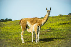 Llama with little breeding eating Stock Photos