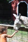 Llama, llama Royalty Free Stock Image