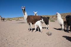 Llama, llamas, ganadería Foto de archivo