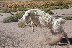 Llama, llamas, ganadería Fotos de archivo
