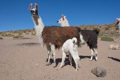 Llama, llamas, ganadería Imágenes de archivo libres de regalías