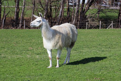 Llama Royalty Free Stock Photo