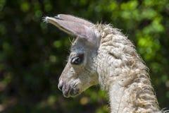 Llama Looking Down Royalty Free Stock Photo