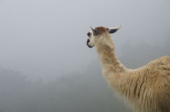 Llama Looking into Mist in Peru Stock Images