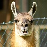 Llama looking nosy Royalty Free Stock Photos