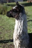 Llama looking to the left Royalty Free Stock Image