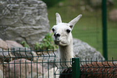Llama looking up. Llama taking a break from a meal at the Oliwa zoo in Gdansk, Poland Royalty Free Stock Photo
