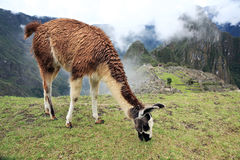 Llama at Lost City of Machu Picchu - Peru stock photo