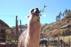 Llama Lunch Royalty Free Stock Photos
