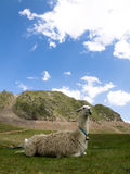 Llama lying down. On the grass with mountains on the background Stock Image