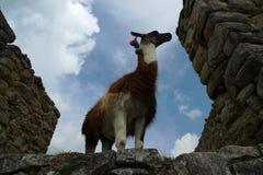 Llama and Machu Picchu Stock Photo