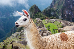 Llama at Machu Picchu. Llama blocking the view of Machu Picchu in Peru Stock Images